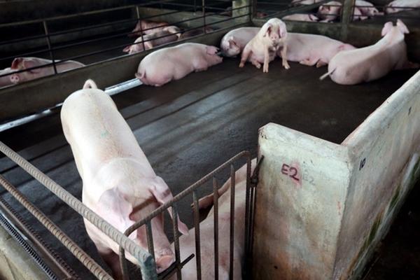 Uggah gesa penternak babi tingkat keselamatan-bio, elak jangkitan ASF