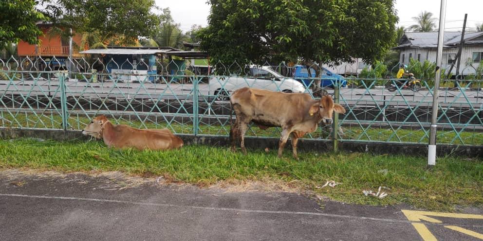 38 ekor lembu bakal tumbang di Sarikei