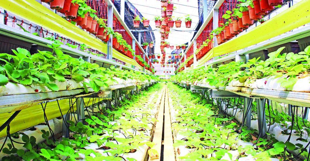 Kebun Strawberi di Kpg Jaya Bakti manah dilawa