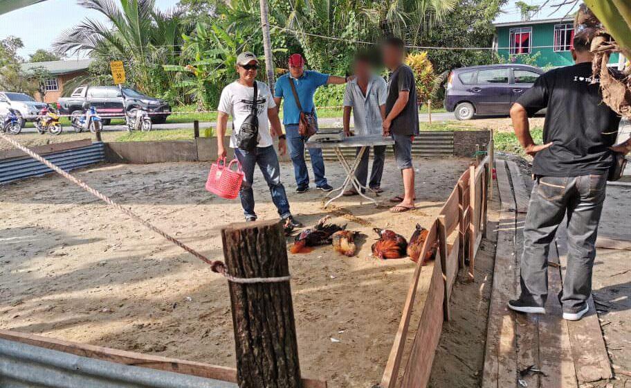 Empat lelaki tempatan ditahan sabung ayam