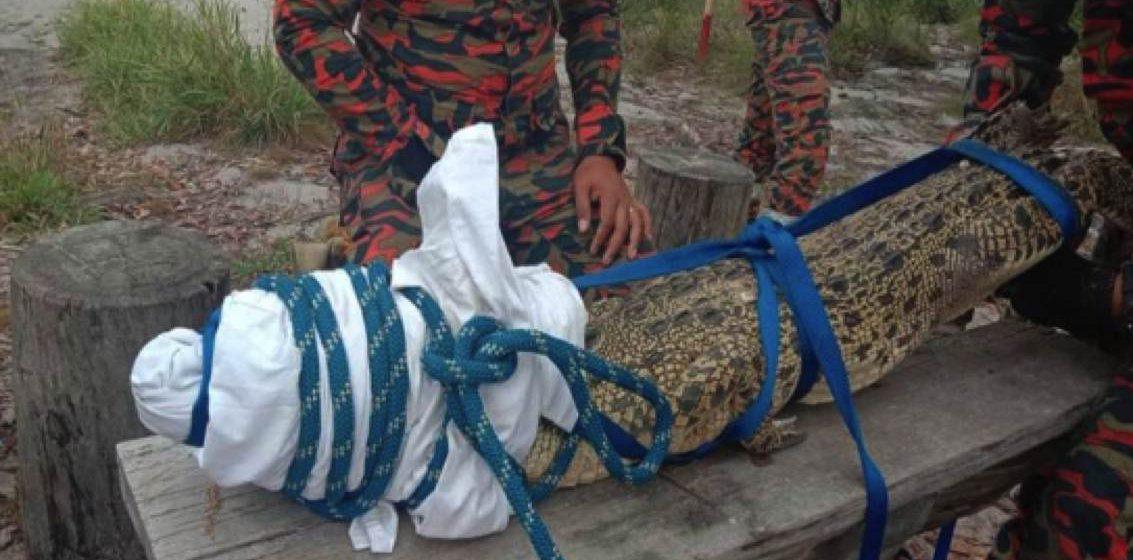 Buaya ditemui di pantai Tanjung Kubong berjaya ditangkap