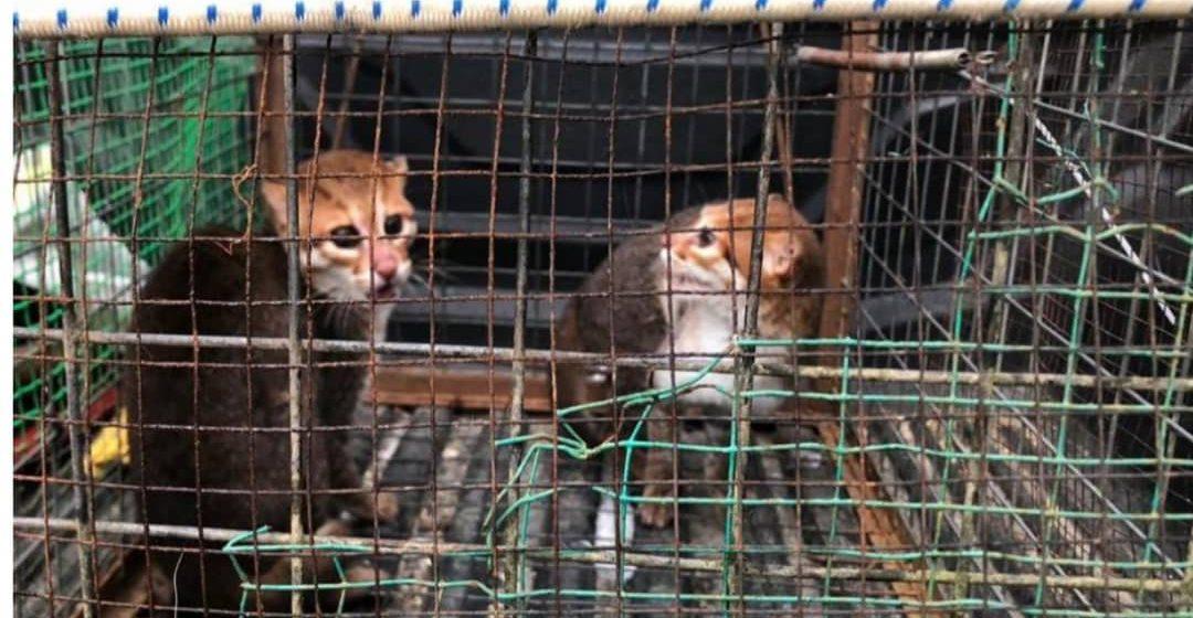 Dua ekor kucing hutan bernilai RM50,000 dirampas