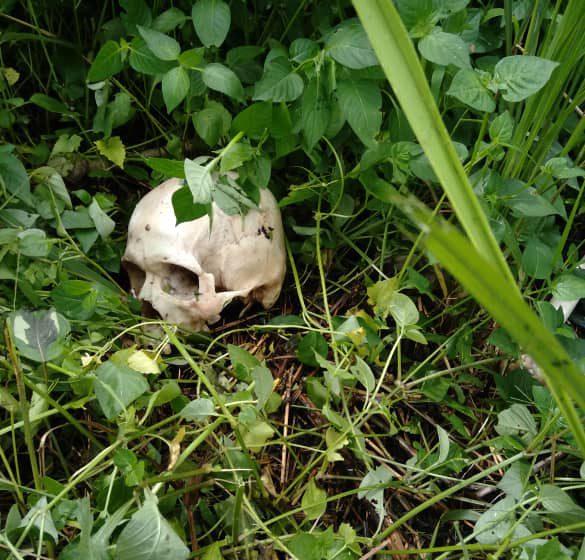 Rangka manusia misteri ditemui di dalam semak