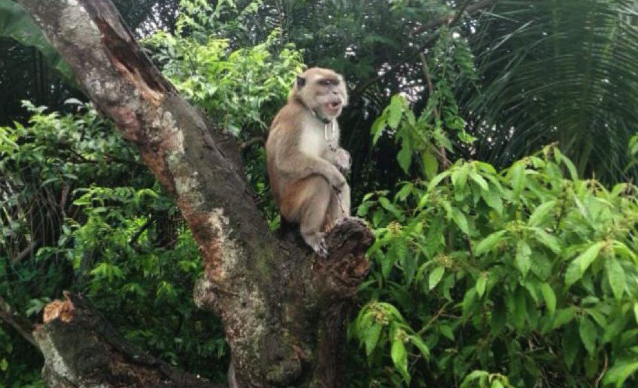SFC menyelamatkan seekor monyet liar mangsa PKP