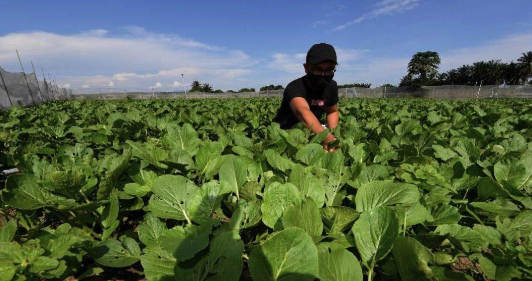 Kesan COVID-19: Golongan muda perlu ceburi pertanian, pastikan kelangsungan