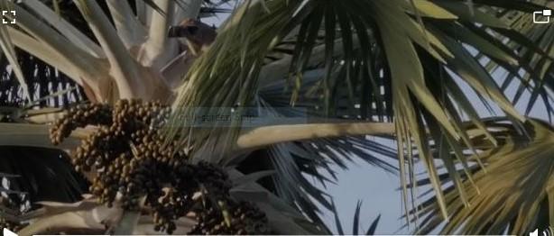 Gempar, monyet larikan telefon wanita di Miri
