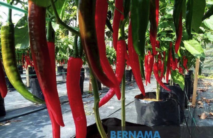 PENJANA beri peluang perluas tanaman cili fertigasi, sayur hidroponik
