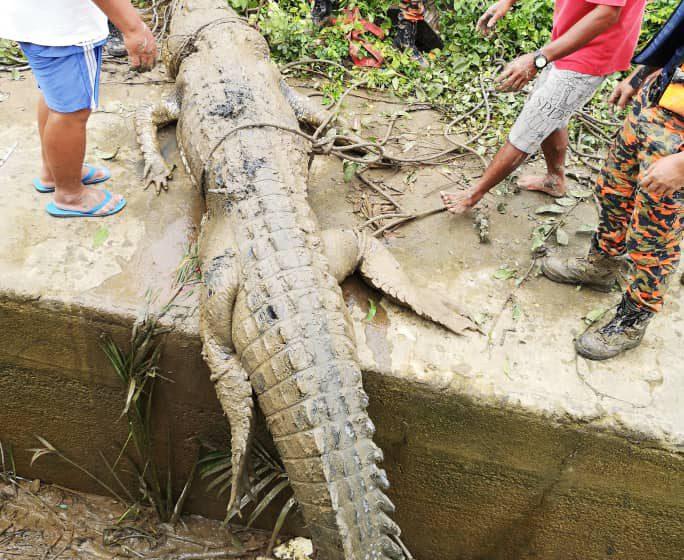 SFC sahkan buaya ditangkap di Batang Serdeng serang remaja