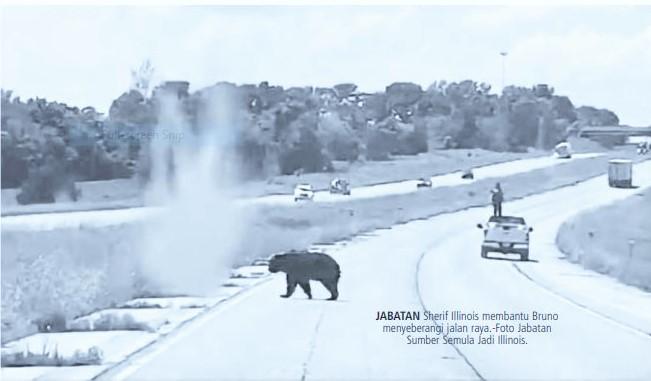 Beruang mengembara 644 km demi 'cinta'