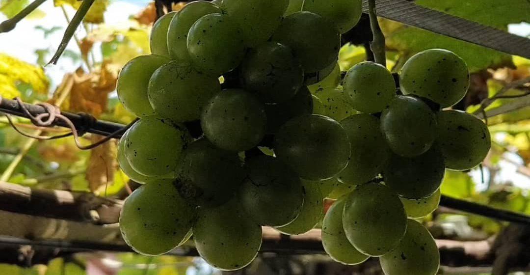 Mengintai bidara, anggur dari anjung rumah