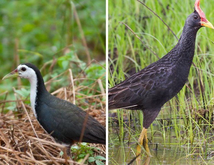 Burung Ruak Ruak Ayam Ayam Spesies Dilindungi Suara Sarawak