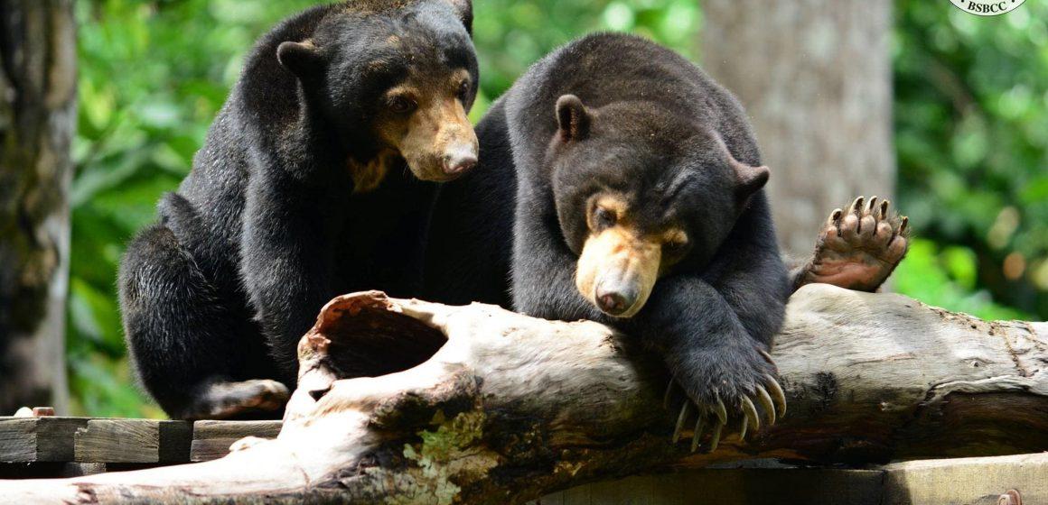 Beruang Matahari: Mangsa pembalakan haram